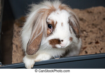Angora lop-eared rabbit, city of Orenburg, Southern Ural,...