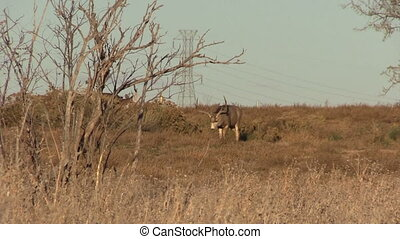 Nice Mule Deer Buck - a nice mule deer buck