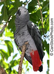 African Gray Parrot - Beautiful African grey parrot in a...