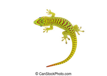 Baby Madagascar Day Gecko - Madagascar day gecko on white...