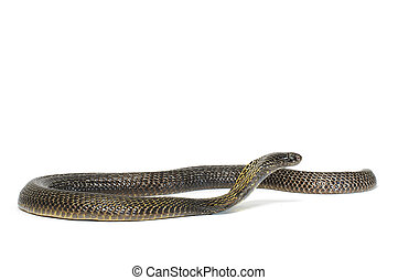 Black Pakistani Cobra on white background