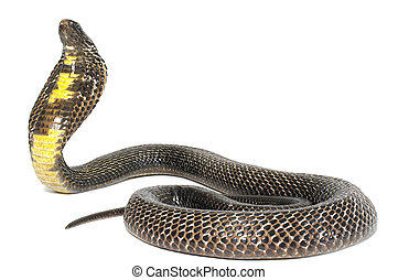 Black Pakistani Cobra on white background.