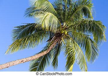 Coconut palm tree perspective view from floor high up Island...