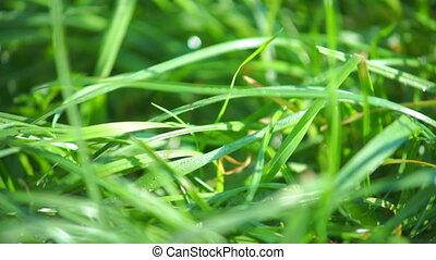 Green grass closeup view