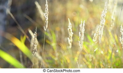 Dry grass on field in autumn - Moving on wind dry grass on...