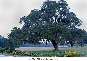Oak tree with Spanish Moss - Photographed here in the...