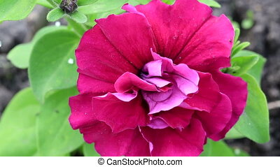 Beautiful flower petunia