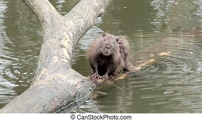 muskrat sitting in a tree