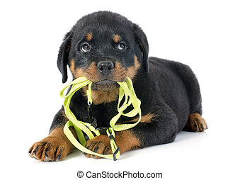 puppy rottweiler and leash in front of white background