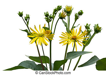 Ox-eye Wildflower - Ox-eye Heliopsis helianthoides false...