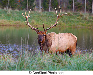 Bull Elk by the pond in the Fall at Holland Michigan