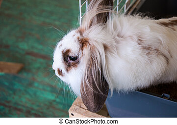 Angora lop-eared rabbit - Angora lop-eared rabbit, city of...