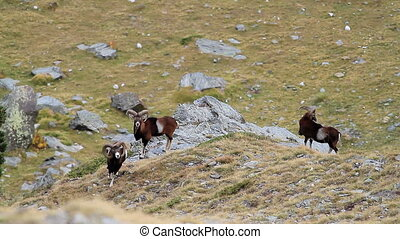 European mouflon ram (Ovis aries or