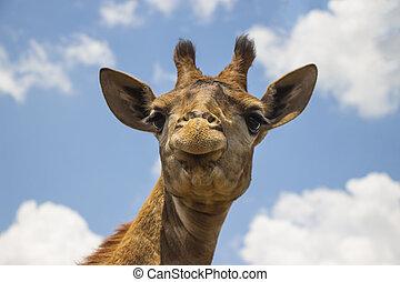 Giraffe Close Up Against Blue Sky