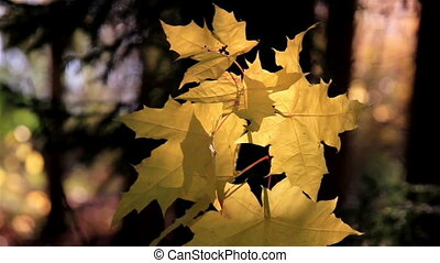 Maple leaf gently swaying to the breeze