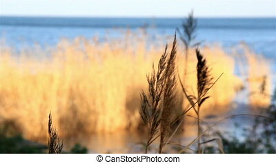 Golden grass stalks moving as the breeze of the wind moves...