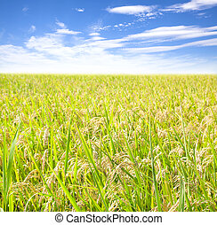 rice field with cloud background