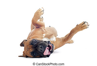 rolling boxer - roling boxer in front of a white background