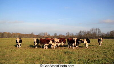Herd of cows found in the open area - Herd of hereford cows...