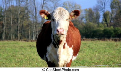 A brown cow with yellow tab on its ears standing along in...