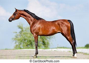 Bay horse - conformation