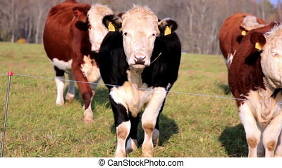 Young cows moving towards the line that can be considered as...