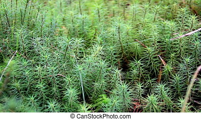 Closer image of the green shrubs in the bog swamp ground -...