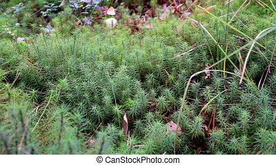 Green shrubs on the bog swamp ground while some of its...