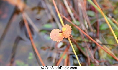 Orange leaf growing in the bog swamp marsh land - Orange...