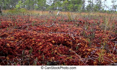 Wind blowing the grasses on bog swamp that are growing -...