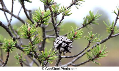 Close image of the pine cone in the tree branch on bog swamp