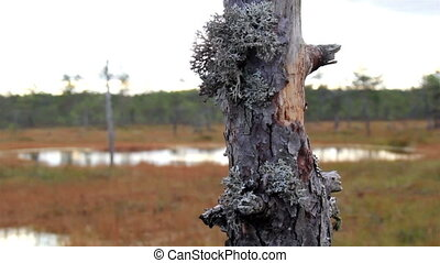 Old tree in the bog swamp marsh land has some leaves...