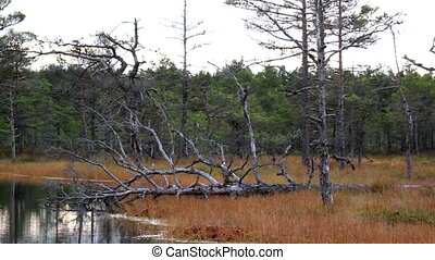 Fallen old tree in the bog swamp marsh land - Fallen old...