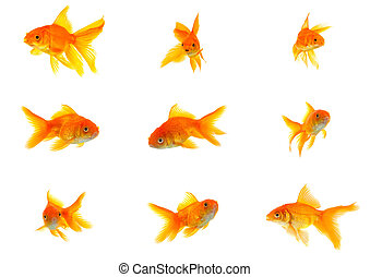 Set of gold fishes isolated on a white background