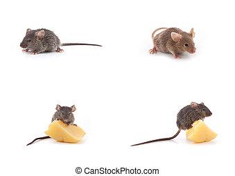 Conjunto, ratones, ratón, queso, blanco