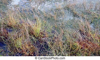 Some plants growing all soaked on bog swamp