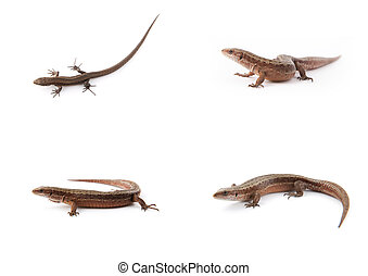 Set of small lizards on white - Set of small lizards on a...