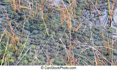 Plants soaked in the water on the bog swamp marsh land -...
