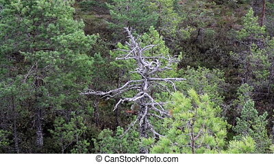 Old tree all withered surrounded by healthy trees on bog...