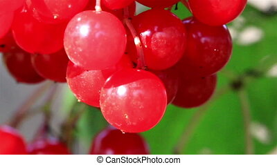 Pink Viburnum opulus guelder rose cherries all ready for...