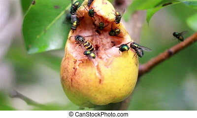 Bees and flies flocking on rotten fruit