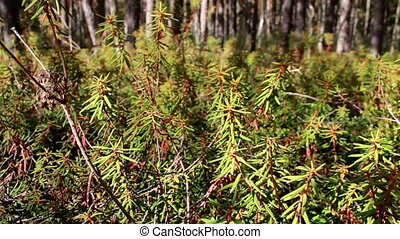 Tall Marsh Labrador Tea Rhododendron tomentosum shrubs on...