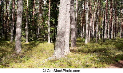 Tall trees found in the forest and a trail where people...