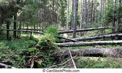 Several fallen trees found on forest. The fallen trees are...