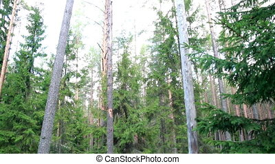 Image of tall trees found in the forest and a wilted branch...