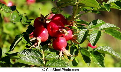 Closer image of the pomegranate - Closer image of the Rose...