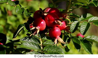 Pomegrenate fruits attached to its branches - Rose rosa...