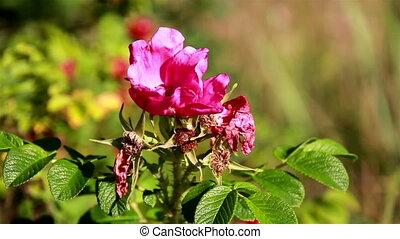 Pomegranate flower blooming - Rose rosa Pomegranate flower...