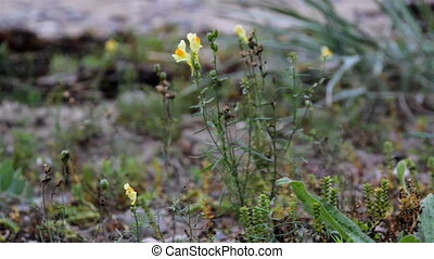 Small yellow flower swaying by the wind. The small yellow...