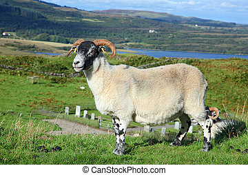 Portrait of a Scottish blackface sheep, Quirain, Isle of...